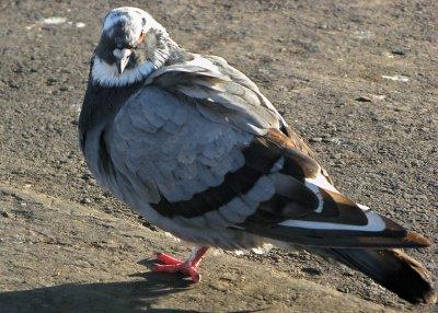 Columba livia - thanks to Nick Anich for IDg the bird