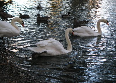 Swan trio and ducks