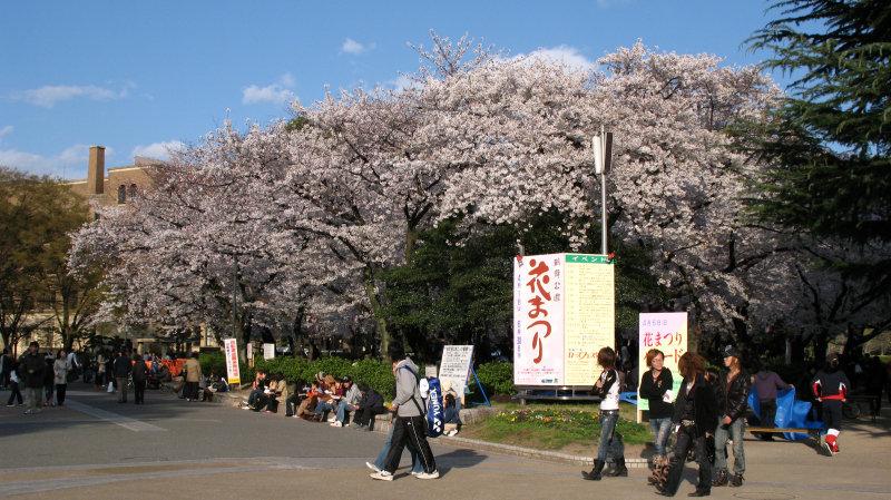 Cherry blossoms at Tsurumai-kōen