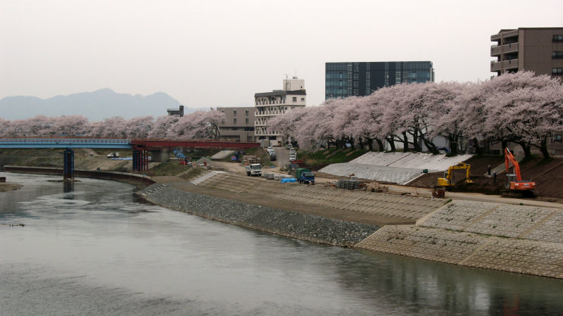Cherry blossoms along the Asuwa-gawa