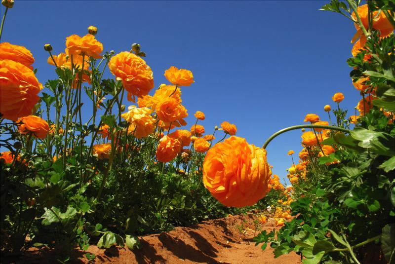Carlsbad Flower Fields. 2006