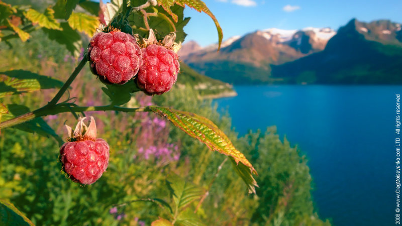 Wild Raspberry in Direct View of Fjords & Mountains