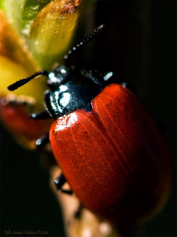 Beautiful bug, looks like a ladubug without the spots.