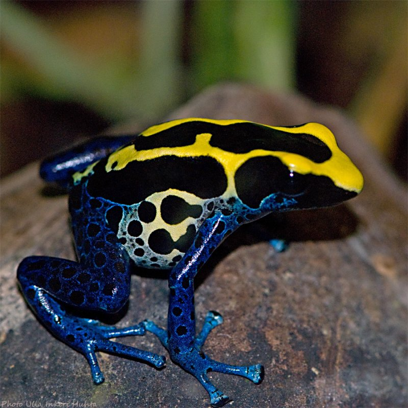 dyeing poison frog 900.jpg