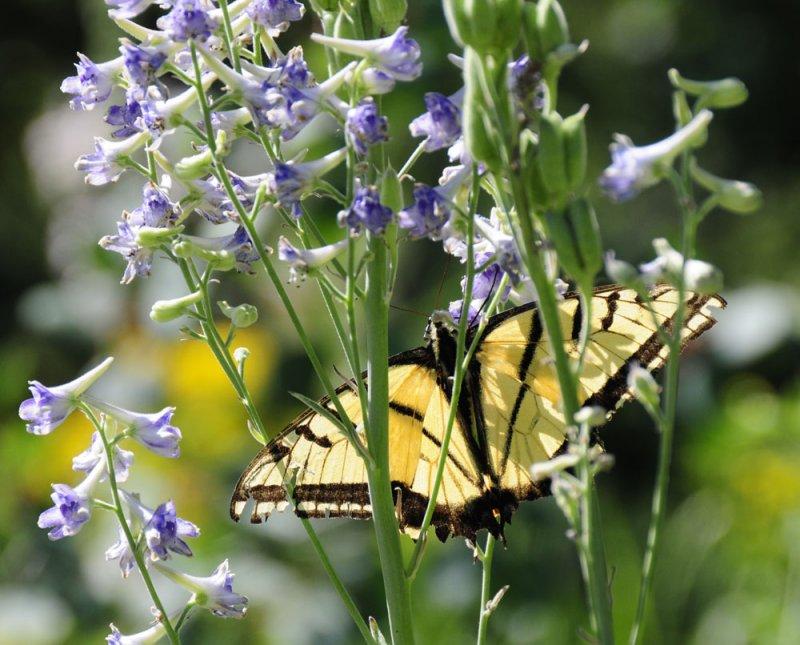 Tiger Swallowtail Butterfly on Larkspur _DSC6834.jpg