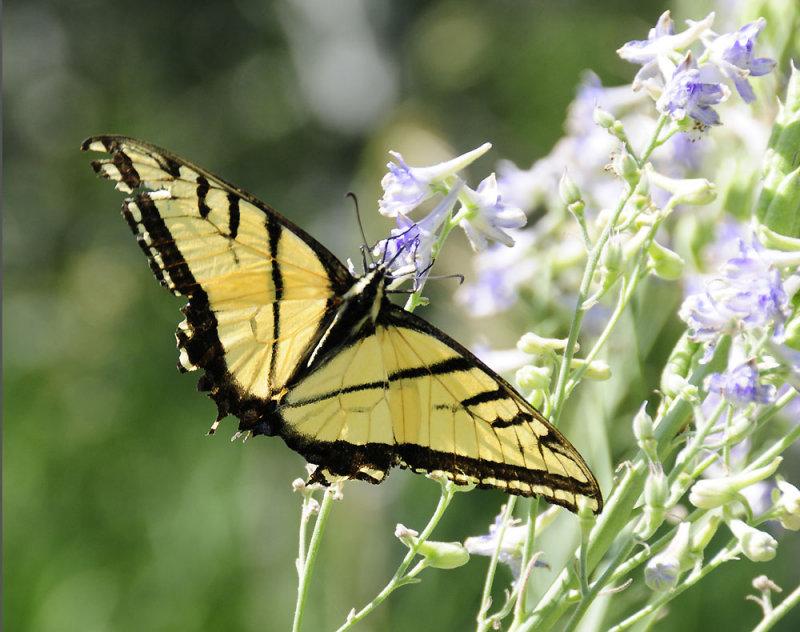 Tiger Swallowtail butterfly on Larkspur smallfile _DSC6855.jpg