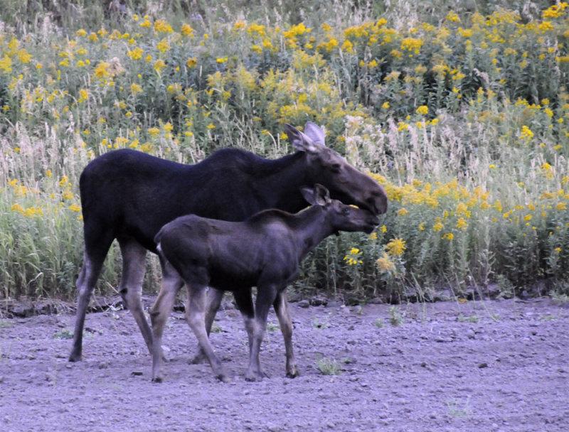 Moose Mom and Baby _DSC8512.jpg