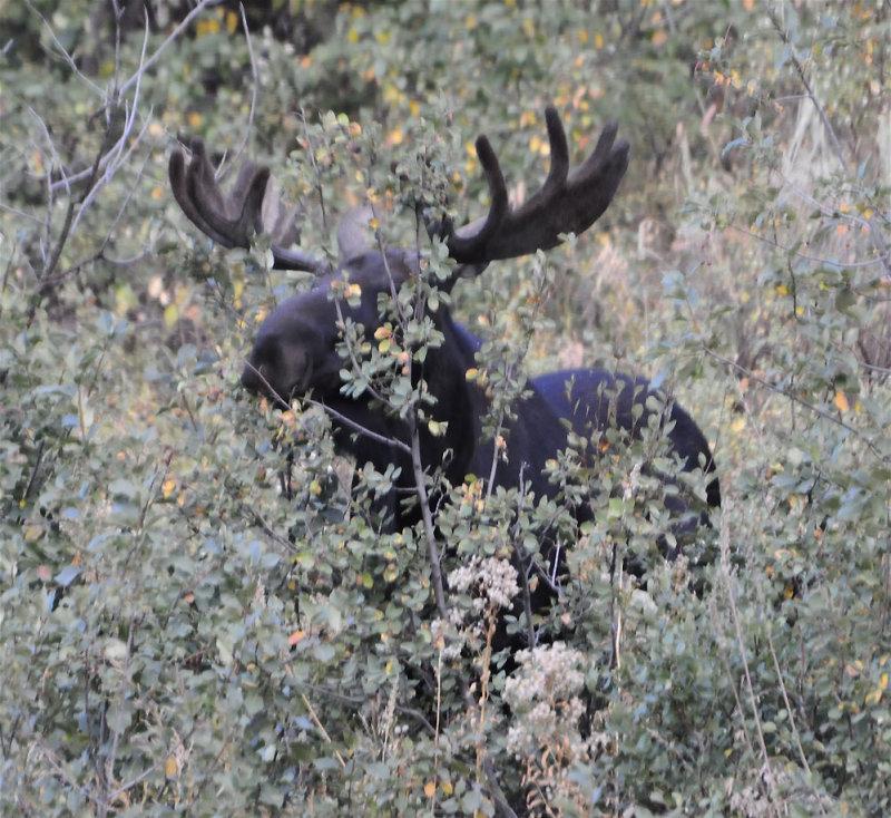 Pocatello Moose eating aspen tree _DSC8724.jpg