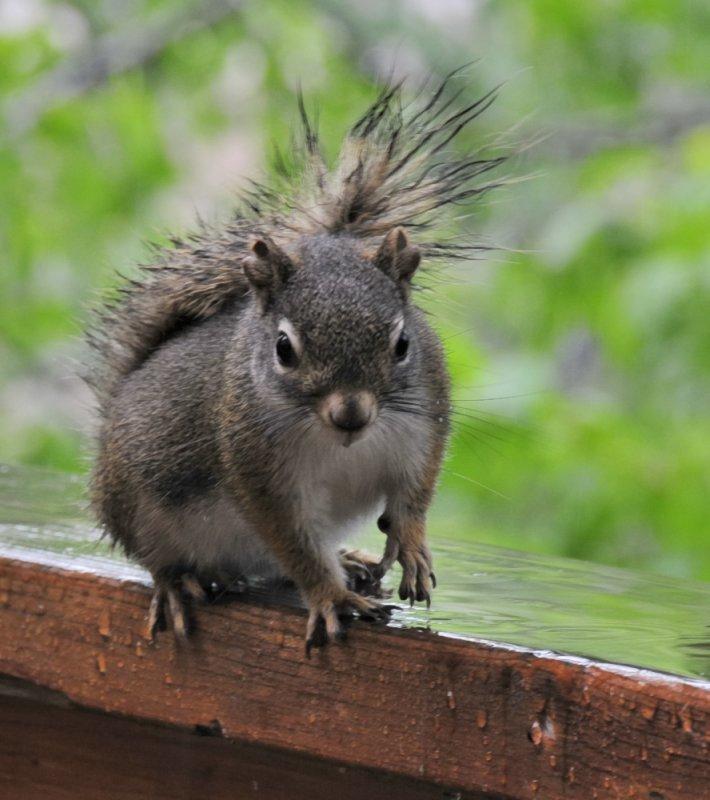 Red Squirrel _DSC8491.jpg