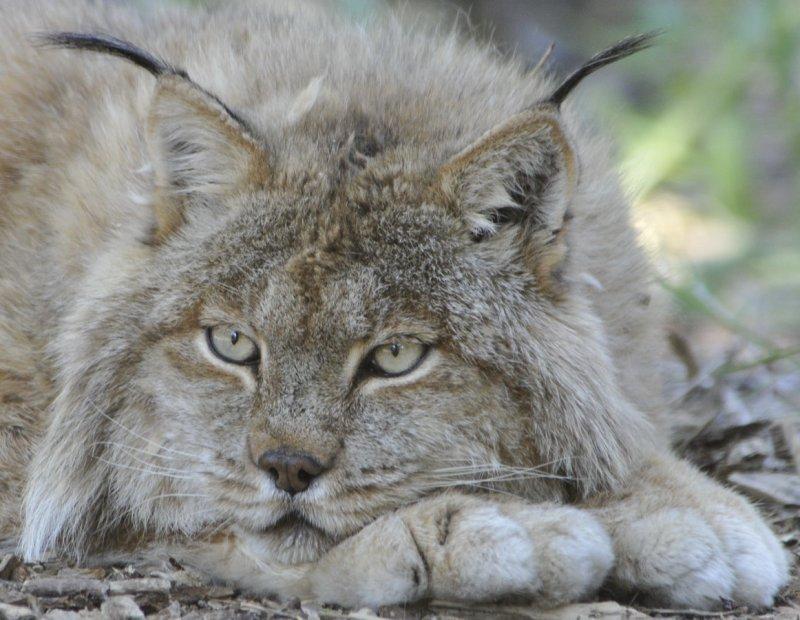 Lacy the Lynx Pocatello Zoo _DSC1678.jpg