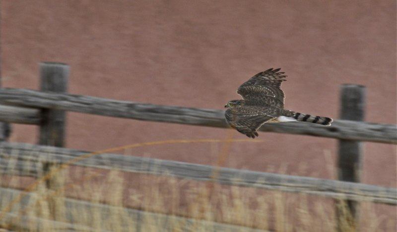 bird of prey in flight at home _DSC6197.jpg