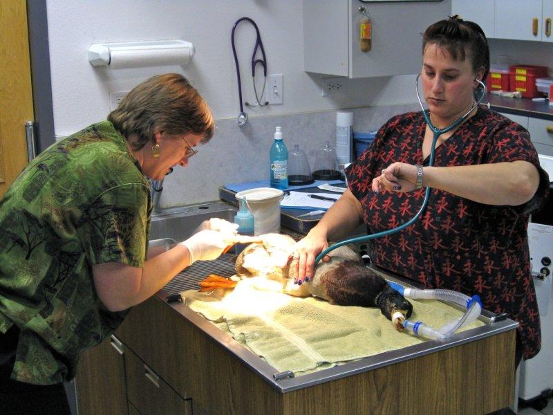 Dr Crystal Shropshire and Vet Tech Yvonne Aprato - Duck Foot Surgery - Alameda Pet Hospital IMG_1751.jpg