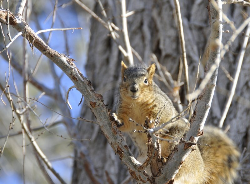 Pocatello Fox Squirrel _DSC6246.JPG