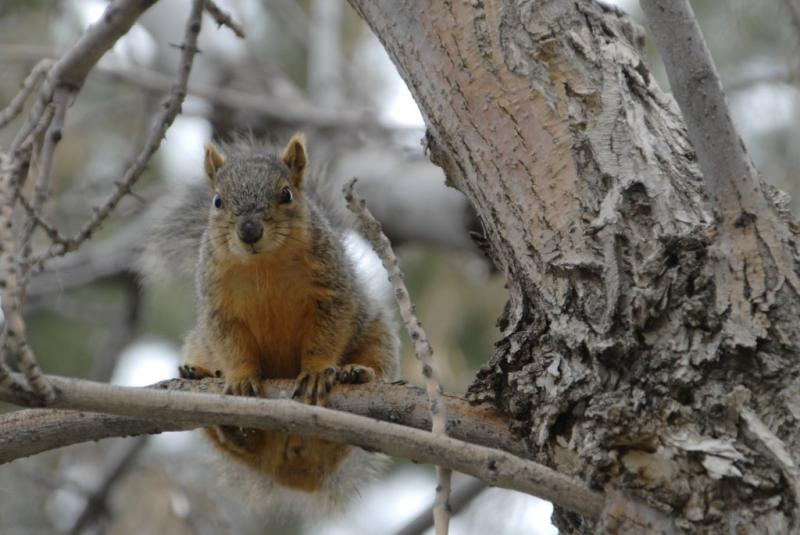 ISU fox squirrel _DSC0597.JPG