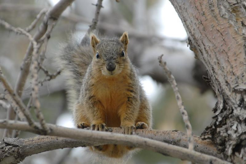 ISU Fox Squirrel _DSC0609.JPG