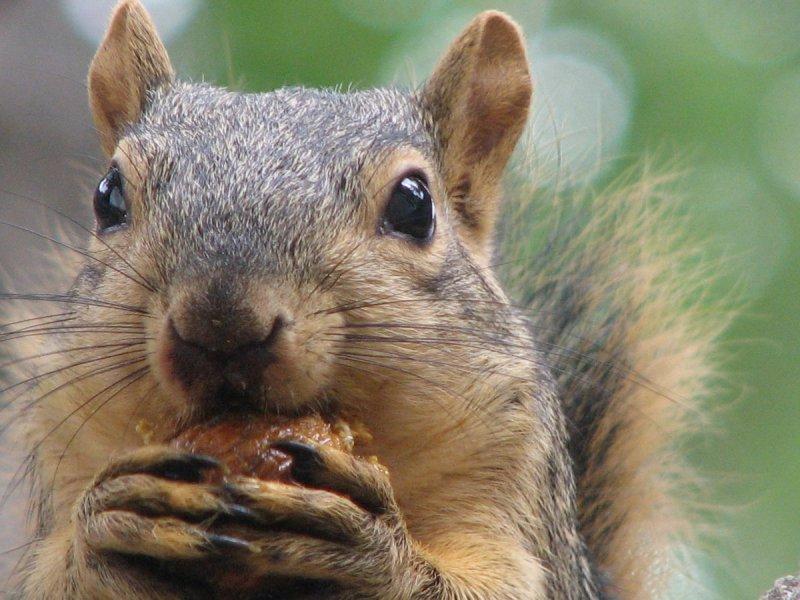 Whitman Street Squirrel IMG_0671.JPG
