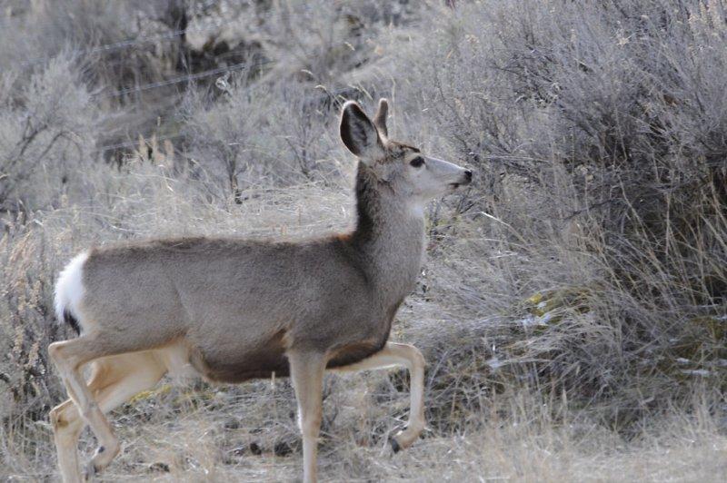 Deer from Portneuf Road _DSC1170.jpg