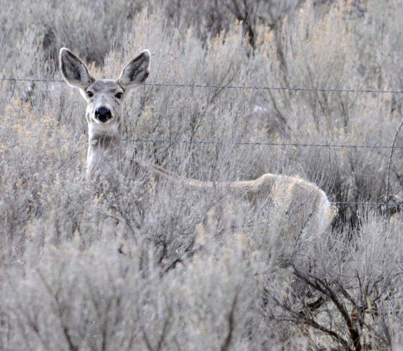 Deer from Portneuf Road _DSC1184.jpg