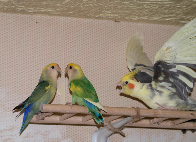 Lovebirds and Cockatiel DSCF1064 copy.jpg