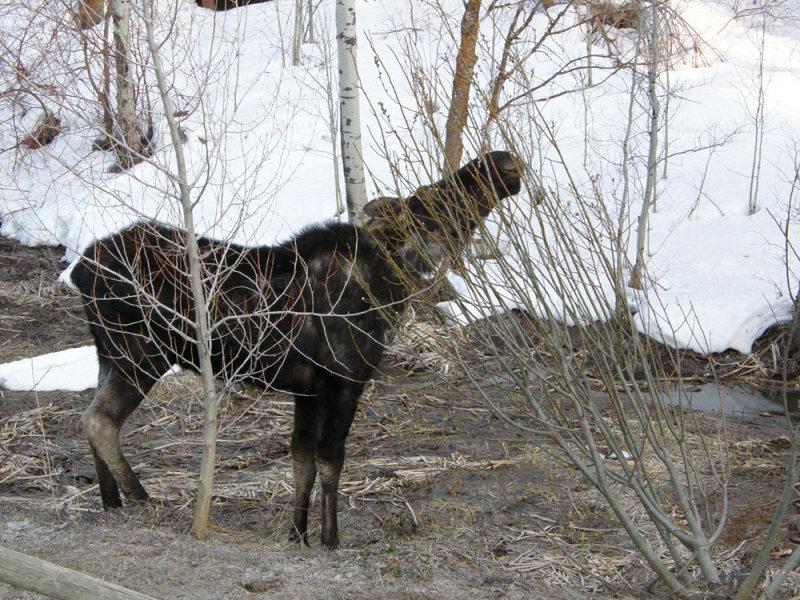 Moose Browsing a Bush smallfile P4160036.jpg
