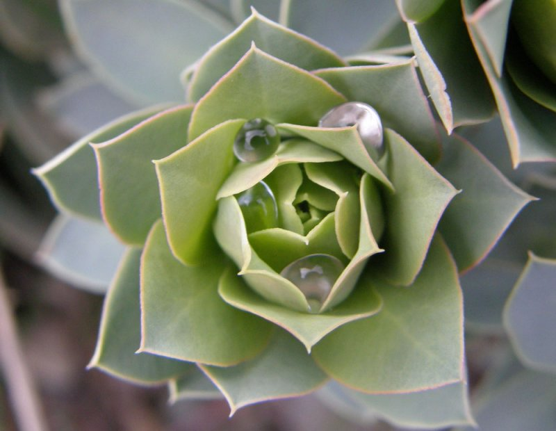 plant may be succulent with raindrops P4230146.jpg