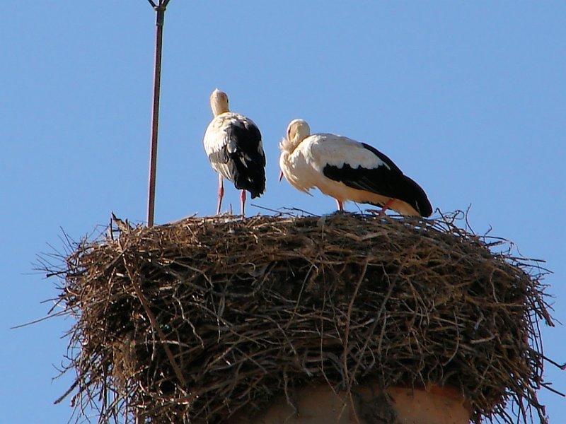 Ninho de Cegonha // Nest of White Stork (Ciconia ciconia)