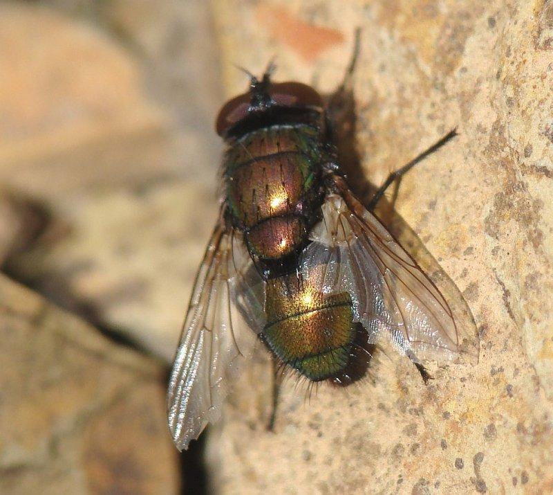 Mosca da família Calliphoridae // Blow Fly (Lucilia sericata)
