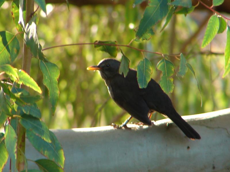 Melro // Blackbird (Turdus merula)