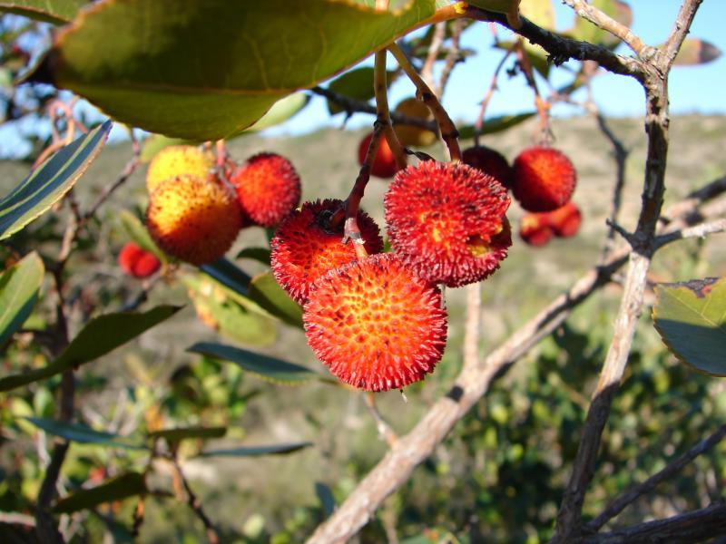 Medronhos /|\ Arbutus-berry (Arbutus unedo)