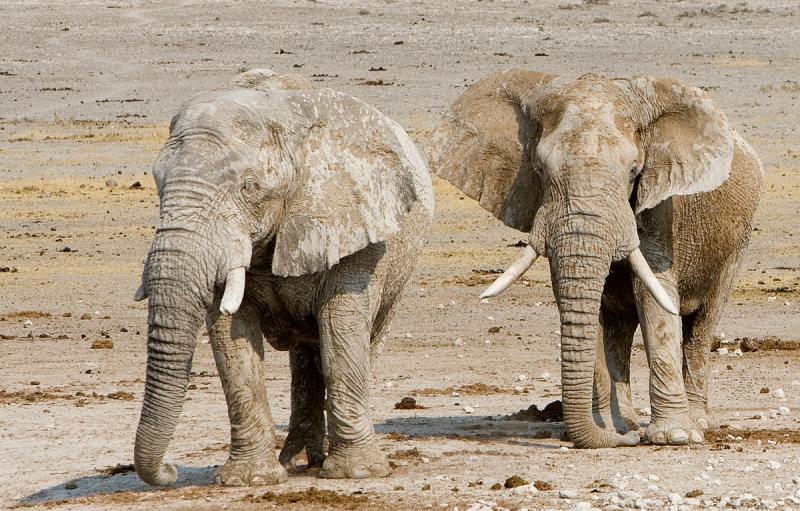 Desert Elephants, Namib desert.