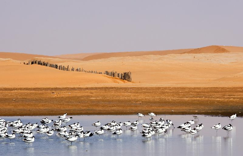 Avocets & Fence