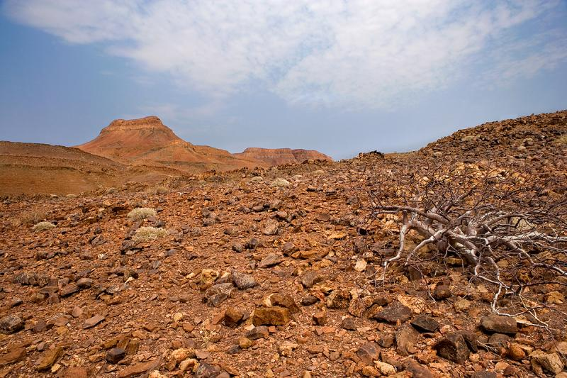 Commiphora Caxicola - Namib Desert