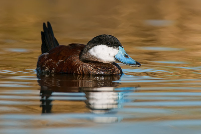Ruddy Duck on golden waters