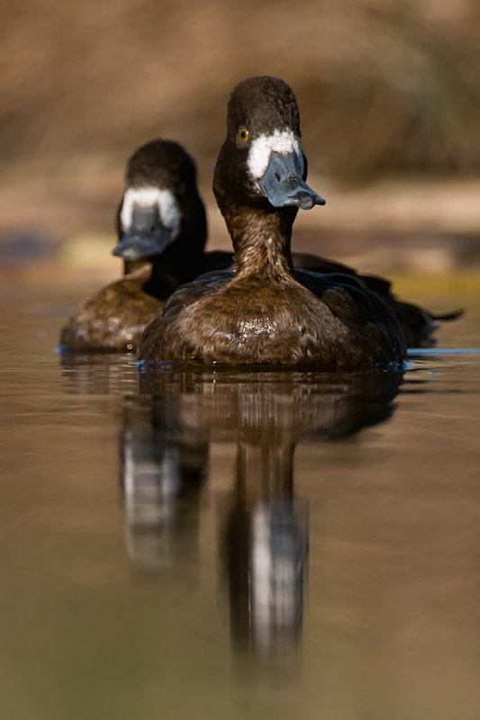 Scaup duo