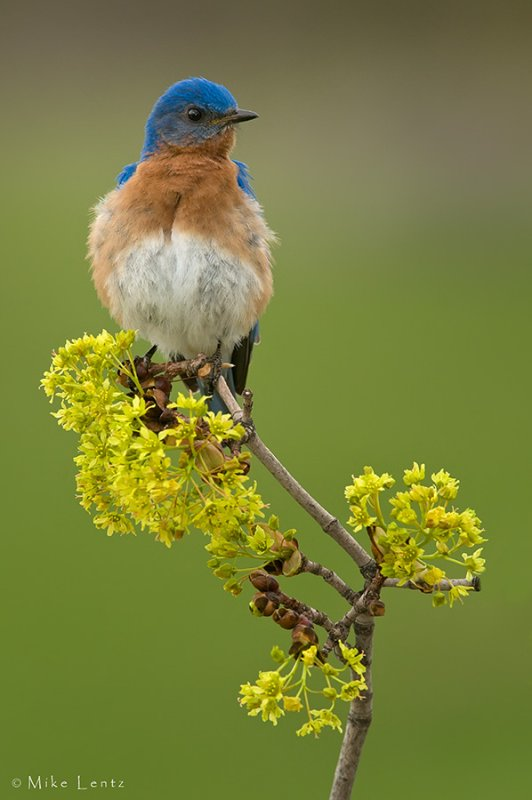 Eastern Bluebird relaxing