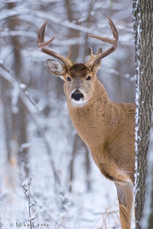 Buck peek