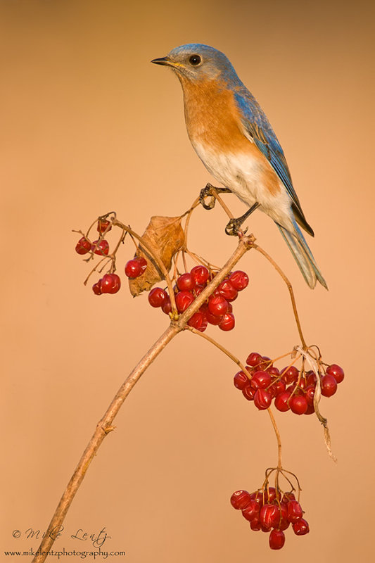 Bluebird on berries
