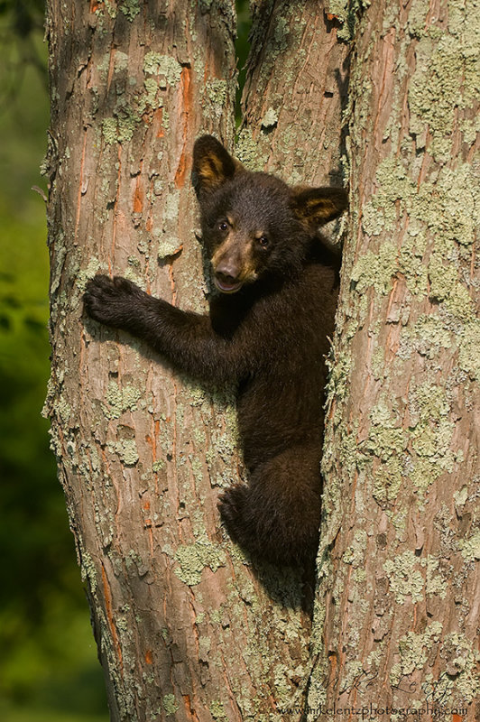 Black bear cub up lichen covered tree