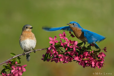 Bluebird couple