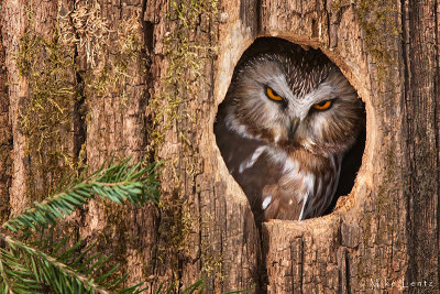 Northern Saw Whet in cavity