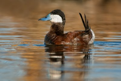 Ruddy Duck (drake)