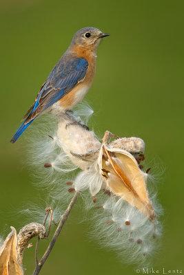 Eastern Bluebird in the prairie