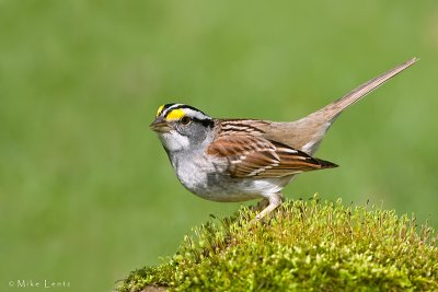 White throated sparrow on moss