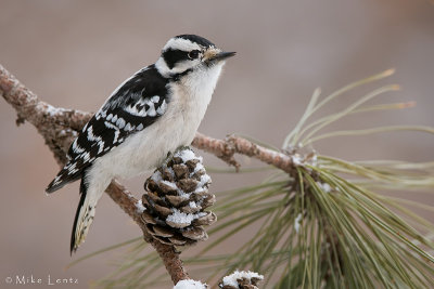Downy on winter pine