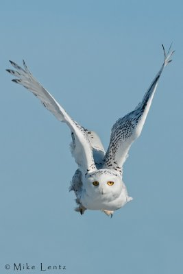 Snowy Owl incoming!