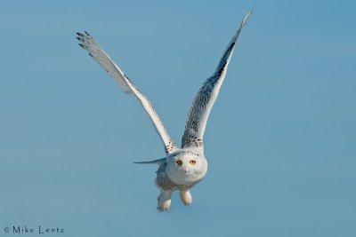 Snowy Owl burst