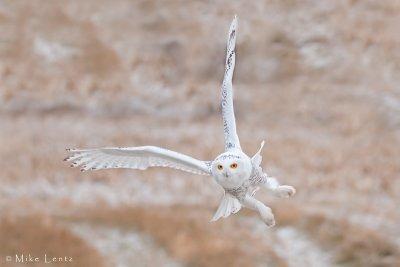 Snowy Owl banking hard