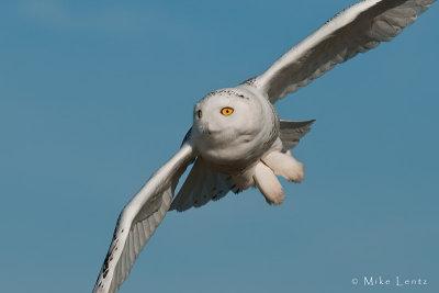 Snowy Owl tight!