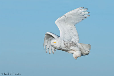 Snowy Owl Fly By!