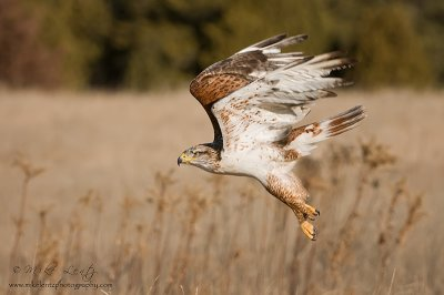 Ferruginous Hawk blows by!